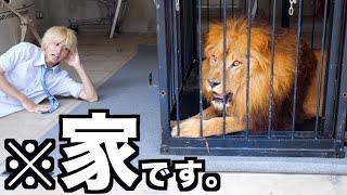 【百獣の王】オレの家にライオン来たんだがwwwwwwwwwww