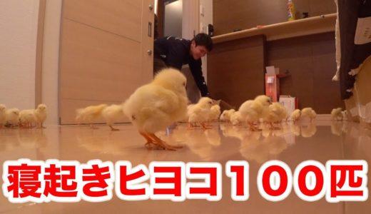 【ドッキリ】寝てる人の部屋にヒヨコ100匹を放してみた!!